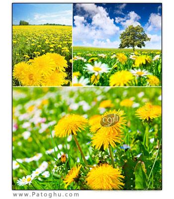 دانلود مجموعه ۴ تصویر استوک با عنوان Dandelions Field Stock Photo