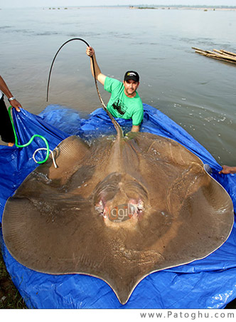 دانلود مستند ماهی های غول آسا - National Geographic - Monster Fish: Giant Stingray